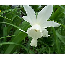 One perfect white daffodil Photographic Print