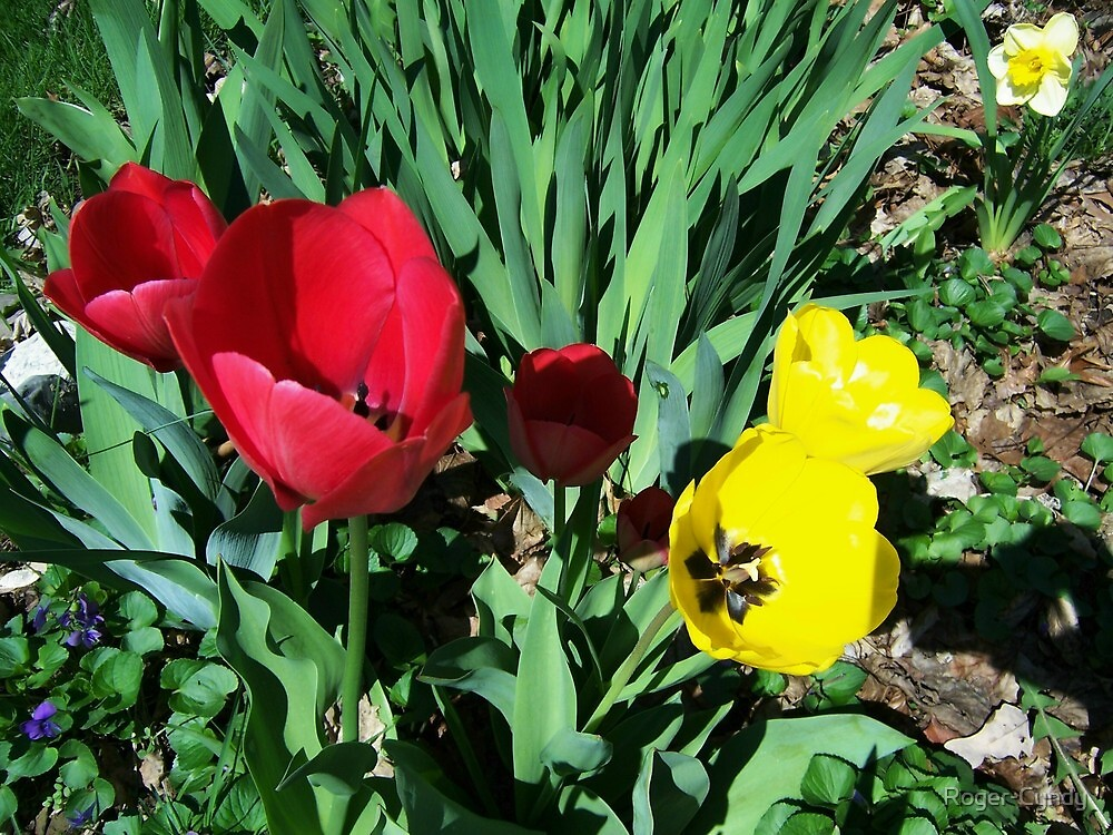 Tulips by Roger-Cyndy