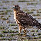 Hawk on a Walk by Randall Ingalls