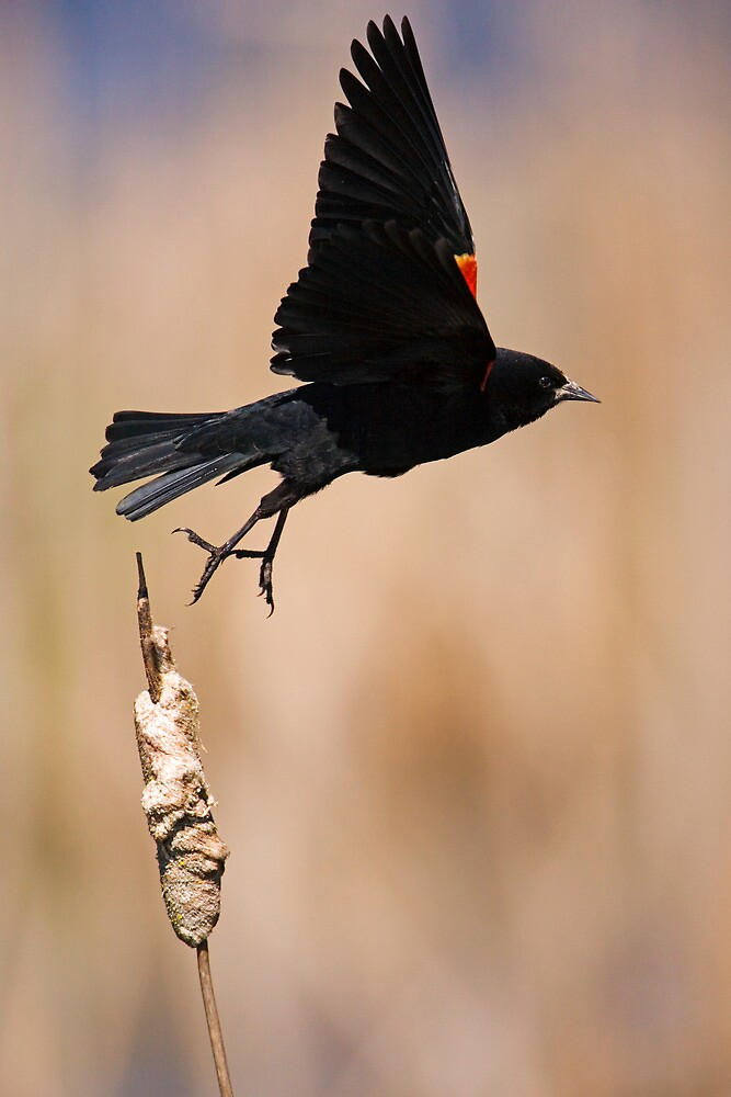 Red-Winged Takeoff by Randall Ingalls