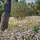 Everlasting Carpet - Wildflowers in Kings Park, Perth, Western Australia by TonyCrehan