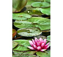 Pink Amoung the Lily Pads Photographic Print