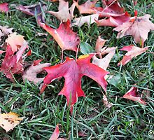 Maple Leaves on the Ground in Fall by boydhowell