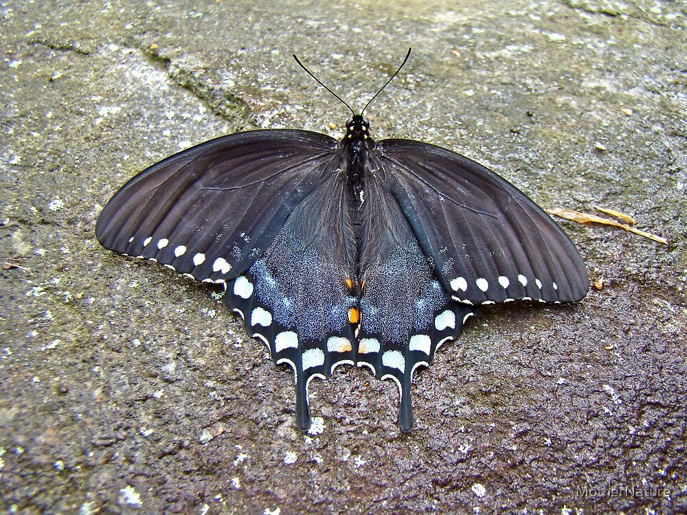 Spicebush Swallowtail Butterfly Female - Papilio troilus troilus by MotherNature