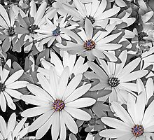 Patch of White Daisies by Bev Pascoe