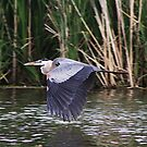 Great Blue Heron by Alyce Taylor