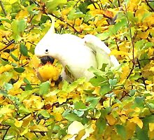 Sulphur-Crested Cockatoo by margaret walsh