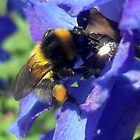 Bumblebee with pollen on delphinium by ©The Creative Minds