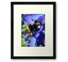 Bumblebee with pollen on delphinium Framed Print