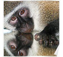 Vervet monkey reflection Poster