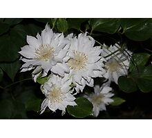 White Clematis Blooms At Night Photographic Print