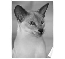 Yes I Am - Siamese Poster