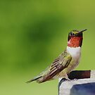 Ruby Throated Humming Bird Perched by Molly  Kinsey