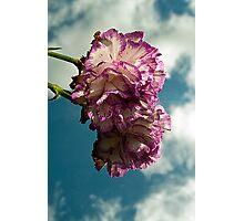Carnation Photographic Print
