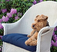 Welsh Terrier by Maria Dryfhout