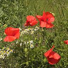 Poppies Just Blowin in the Wind by Eileen O'Rourke