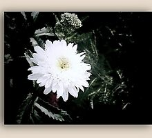 White flower in drop shadow frame by Sherri Fink