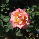 Single Pink / Yellow Rose by CriscoPhotos