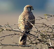 European kestrel by butty61