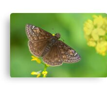 Northern Cloudywing Canvas Print