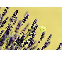Butterfly on lavender flowers Photographic Print