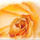 English Rose Golden Celebration by Sarahbob