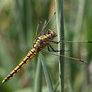 Yellow dragonfly 7624 by João Castro