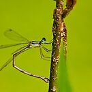 Damselfly by Michael Cummings