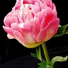 A Pink Peonies by Jennifer Hulbert-Hortman