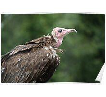 Birds of Prey Series No 8 Poster