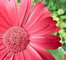 macro pink flower -defocussed green background by theonewhoisfree