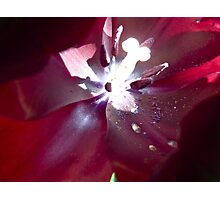 crimson flower macro with flared stamen Photographic Print