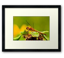 White Faced Meadowhawk Dragonfly Framed Print