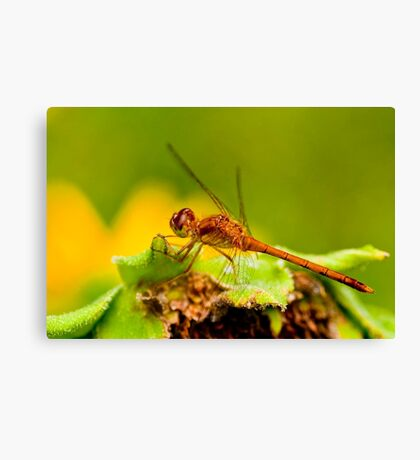 White Faced Meadowhawk Dragonfly Canvas Print