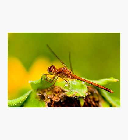 White Faced Meadowhawk Dragonfly Photographic Print