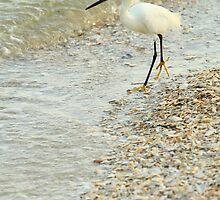 Snowy Egret by Adam Wignall