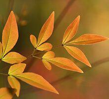 golden glow by Iris MacKenzie