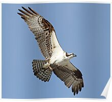 Another osprey catch! Poster
