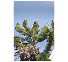 Bald Eagle Parents Poster