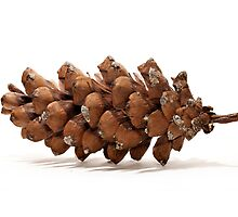 Walden Pine Cone by Eric Lindquist
