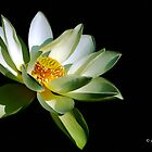 White Lotus Flower by ButchDavis