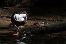 Dipper by Neil Bygrave (NATURELENS)