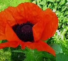 A popping Poppy for Richard Tuvey 2011 by MarianBendeth