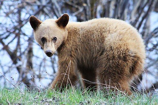 Blonde Bear by Alyce Taylor
