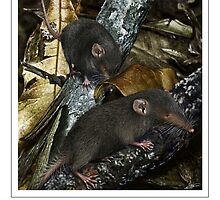 CHRISTMAS ISLAND SHREW (Crocidura attenuata trichura) DIGITAL PAINTING. NOT A PHOTOGRAPH by DilettantO