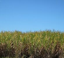 Sugar cane and blue sky  - Lismore NSW 2006 by sbyrne