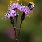 Bee on Saw-wort by Neil Bygrave (NATURELENS)