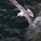 Fulmar by Neil Bygrave (NATURELENS)