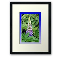 Lovely Lupin Framed Print