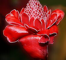 Red Torch Ginger by Margaret Stevens